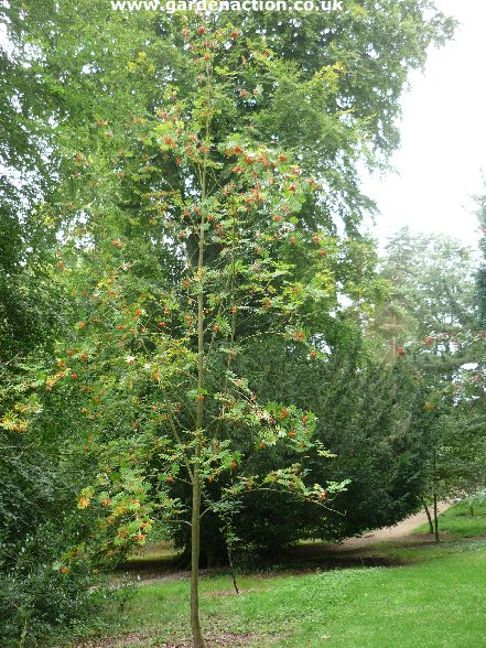 Other less well known species of rowan trees for Ideal trees for small gardens