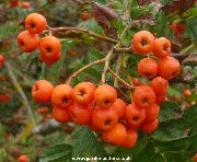 The berries of the Madeira Rowan tree (sorbus madriensis)