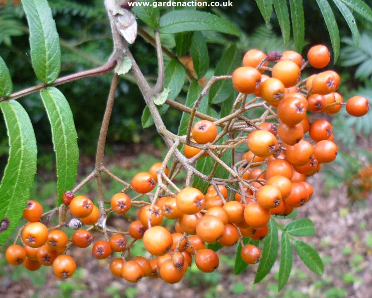 Other less well known species of rowan trees