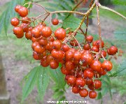 Berries of sorbus randaiensis
