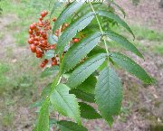 Leaves of sorbus randaiensis