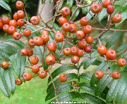 Berries of sorbus scalaris