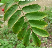 Leaves of Wilford's Rowan (sorbus wilfordii)